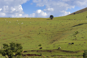 Cattle grazing on the hill