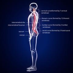 Spinal cord stock illustration. Illustration of human anatomy