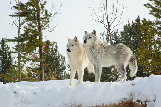 Wolves Yellowstone NP