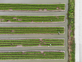 Farmer harvesting vegetable garden field farm. Summer green agriculture large farm in nature, aerial top view