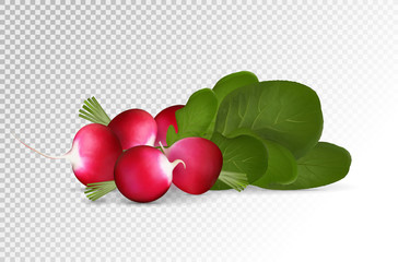 Grope of photo realistic radishes with leaf on a transparent background. Vector illustration.