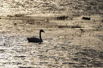 A trumpeter swan swimming in the waters of magee marsh wildlife area