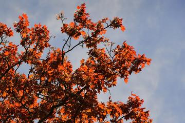 Leuchtend roter Ahornzweige vor blauem Himmel
