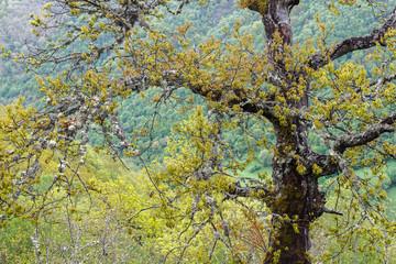 Roble y Valle de Laciana. Reserva de la Biosfera del Valle de Laciana, León, España.