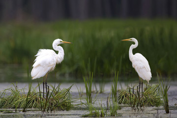 Great Egret in the wild on the lake