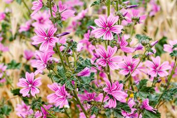 Malva sylvestris. Plantas de malva común con flores.