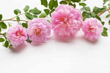 Pink rose, Copy space