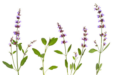 Salvia officinalis plant (sage, also called garden sage, common sage, or culinary sage) isolated