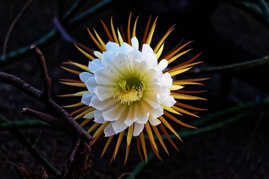 Cactus queen of the night. Night-blooming cereus Latin name Selenicereus grandiflorus