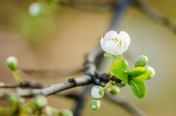 white flowers blooming wild plum