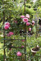 Rosen, Garten, Rankgerüst