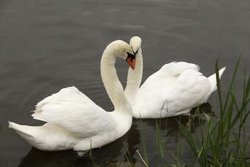 Cisnes blancos en el río.