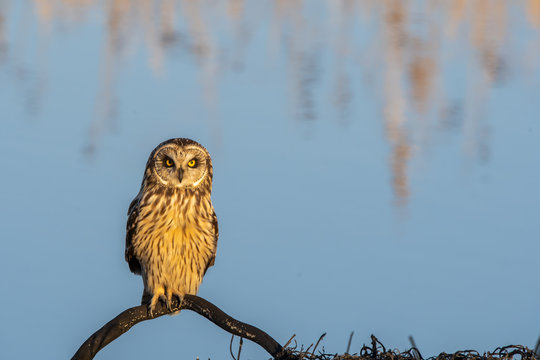 A short-eared owl perched on a low branch close to cause way inside Magee marsh wildlife area on a clear winter evening
