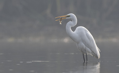 The Great  Egret with fish