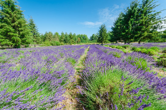 Blossom lavender at local farm at Sequim Washington in vast landscape. Row of blooming purple herbal surrounding by tall trees under sunny sky at Sequim-Dungeness Valley.