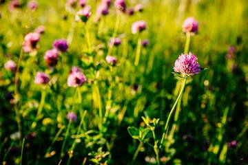 Pink clover flowers in summer sunset light.