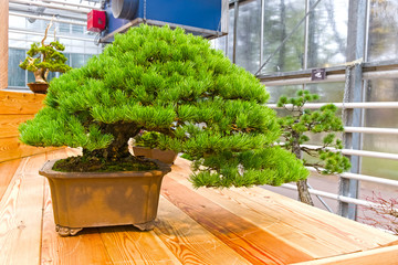 Bonsai tree  - Japanese white pine