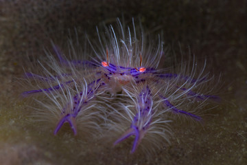 Pink hairy squat lobster (Lauriea siagiani). Picture was taken in Anilao, Philippines