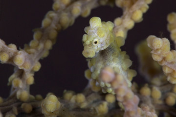 Pygmy seahorse  also known as Bargibant's seahorse (Hippocampus bargibanti). Picture was taken in Anilao, Philippines