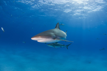 Caribbean reef shark in clear blue water with other sharks and sun in the background