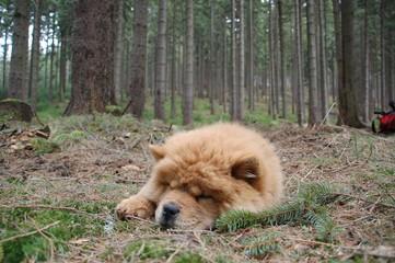schlafender chow1