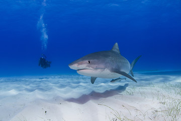 Tiger shark close to the ground in clear blue water with shadow in the sand and scuba diver / videographer / photographer in the background