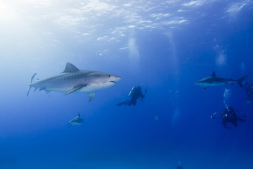 Tiger shark in clear blue water with caribbean reef sharks and scuba divers with sun in the background