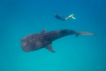 Whale shark with snorkeler in turquoise water