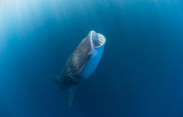 Whale shark with wide open mouth swimming through a cloud of plankton and krill filtering the water for food