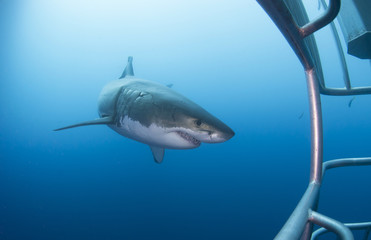 Great white shark with diving cage in clear blue water