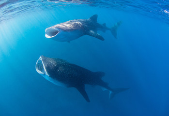 Whale sharks with wide open mouth swimming through a cloud of krill and plankton filtering the water for food