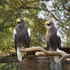 Eagles on the branch