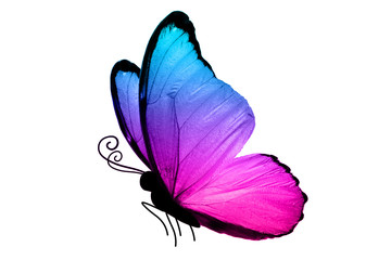 Большая бабочка с яркими крыльями  розово-голубого цвета изолирована на белом фоне