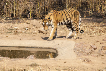 A tiger relaxing in a water hole inside Bandhavgarh tiger reserve to cool off from heat during a wildlife safari