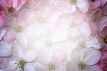 Pink flowers of apple tree background