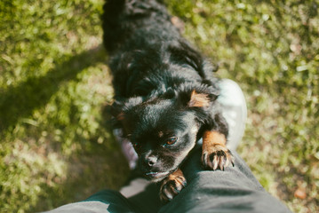 Closeup of a playful black dog wanting to play with an owner and scratching his knees. Joyful summer sunny afternoon on weekends. Top view