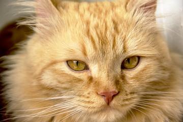 Beautiful ginger cat face close up