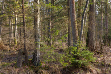 Old alder trees among spruces in winter