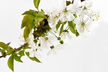 Blooming cherry tree stock images. Cherry branch on a white background. Spring floral decoration. Spring background concept. White cherry blossom flowering branche
