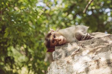 Rhesus Macaque monkey close to Arunachala ashram at Tiruvannamalai, Tamil Nadu, India