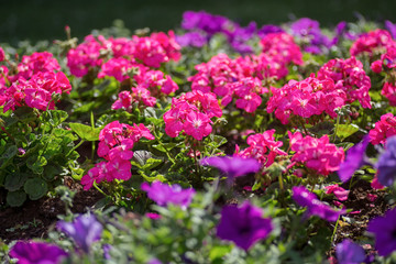 Pink geraniums in a summer garden.
