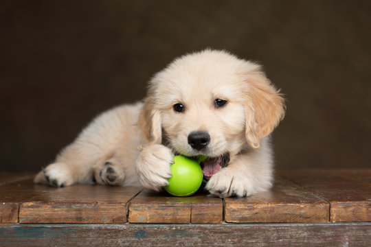 Golden Retriever Puppy chewing on a green toy ball