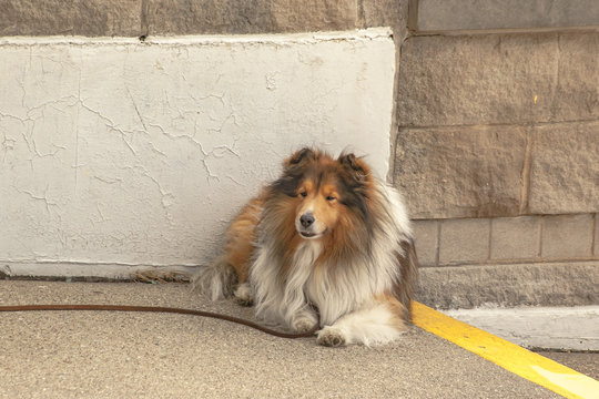 A Shetland sheep dog lying down outside on a concrete step in front of a white painted concrete wall with the leash on the ground.