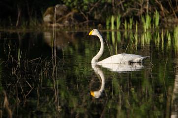 Cygnus cygnus (Golden morning reflection)
