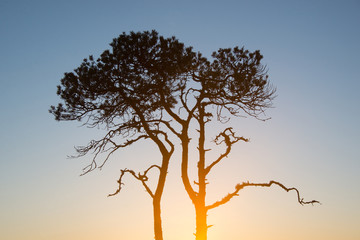 Pinus sylvestris (Sunrise silhouette)