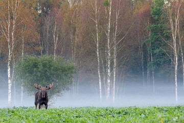 Moose. Elk. Male in autumn fog.