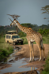 Masai giraffe blocks flooded road for jeep