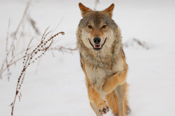 Wolf in winter. Gray wolf, Canis lupus.