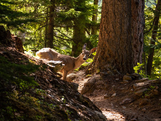A young female deer seems to not mind the camera on Sperry Trail in Glacier National Park, Montana on a beautiful spring afternoon. In fact, she looks right at it.