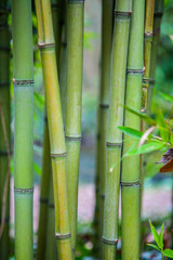 Bamboo. Green bamboo forest. Bamboo stick. bamboo background